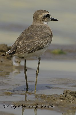 Caspian Plover in Koonthalulam bird sanctuary, India, by Dr. Tejinder Singh Rawal.jpg
