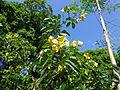 Cassia bacillaris-Jardin botanique de Kandy (1).jpg