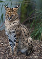 Cat Survival Trust Leptailurus serval 02.jpg