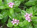 Catharanthus roseus - Kolkata 2004-07-13 01753.JPG