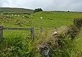 Cattle grazing, Curraglass - geograph.org.uk - 2008213.jpg