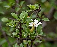 Catunaregam spinosa (Mountain Pomegranate) flower W IMG 9060
