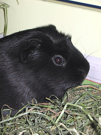 Melanism - Melanistic Guinea pigs are relatively rare, and considered especially effective in ritual use by Andean curanderos.