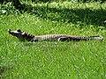 Cayman Crocodylus Yacare.JPG