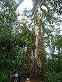 Ceiba Árbol de la Paz 1.jpg