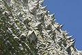 Ceiba speciosa 10zz.jpg