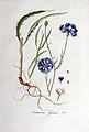 Centaurea cyanus — Flora Batava — Volume v5.jpg