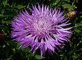 Centaurea dealbata 'Steenbergii' J2.jpg