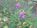Centaurea pulcherrima2.jpg