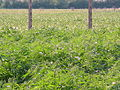 Centro di ricerca per le colture industriali, sede distaccata (Rovigo) 04.JPG