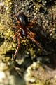 Centromerus.sylvaticus2.-.lindsey.jpg