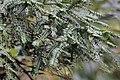 Cephalotaxus sinensis - Mount Sanqing 2015.09.08 12-36-25.jpg