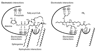 Fumonisin B1 - Figure 3: Proposed mechanism of action of ceramide synthase inhibition by FB1; FB1 mimics regions of the sphingoid base and the fatty acyl-CoA substrates. (Merrill et al., 2001)