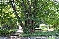 Cercidiphyllum japonicum UW.JPG