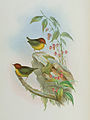 Cettia castaneocoronata John Gould.jpg