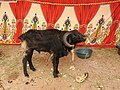 Chachacatti sheep-3-praba pet-salem-India.jpg