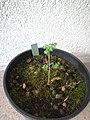 Chaerophyllum bulbosum.jpg