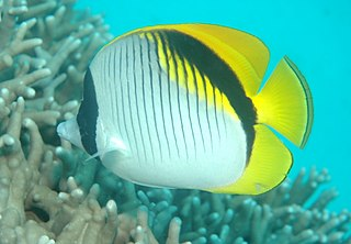 Lined butterflyfish species of fish