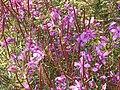 Chamaenerion angustifolium in Montenegro 03.jpg