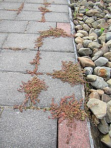 Пространство пурпурных растений, растущих на тротуаре