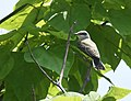 Checking out the chicks and fledges along Kingbird Alley (48260154747).jpg