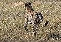 Cheetah on The Hunt, Maasai Mara (45006355245).jpg
