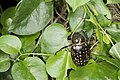 Cheirotonus formosanus (42241778850).jpg