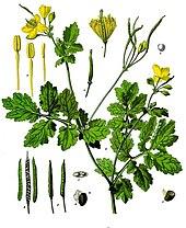 Des vertus des plantes par Macer Floridus, 1832 170px-Chelidonium_majus_-_K%C3%B6hler%E2%80%93s_Medizinal-Pflanzen-033