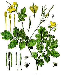<i>Chelidonium majus</i> species of plant in the poppy family