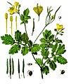 Chelidonium majus - Köhler–s Medizinal-Pflanzen-033.jpg