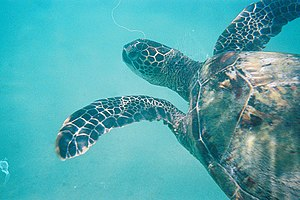 A green sea turtle photographed at Hanauma Bay...