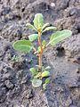 Chenopodium glaucum sl16.jpg