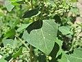 Chenopodium vulvaria inflorescence (25).jpg