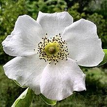 Cherokee rose.jpg