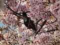 Cherry Blossom DC 2014 (14097796252).jpg