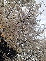 Cherry Blossoms near Library in Huangzhou District, Huanggang, Hubei 6.JPG
