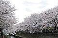 Cherry blossom near Zenpukuji river, Tokyo; March 2008 (20).jpg