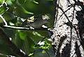Chestnut-sided Warbler (44131432255).jpg