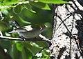 Chestnut-sided Warbler (44131434095).jpg