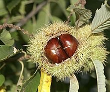 A bunch of chestnuts. Maroon is derived from marron, French for chestnut.
