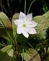 Chickweed Wintergreen (Trientalis europaea) - geograph.org.uk - 478064.jpg