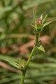 Chicory (Cichorium intybus) - Guelph, Ontario 2013-08-06.jpg