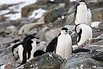 Chinstrap Penguins Half Moon Island Antarctica 16 (47284196902).jpg