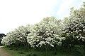 Chionanthus retusus - Chinese Fringetree - 3.jpg