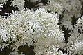 Chionanthus retusus - Chinese Fringetree - 6.jpg