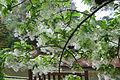 Chionanthus virginicus - Norfolk Botanical Garden - 2.jpg