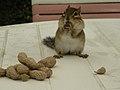 Chipmunk with peanuts (1311162734).jpg