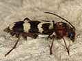 Chlorophorus trifasciatus (Cerambycidae) from Andalusia (8708381742).jpg