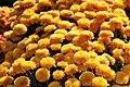 Chrysanthemum Harmony 1zz.jpg