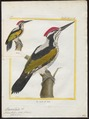 Chrysocolaptes festivus - 1700-1880 - Print - Iconographia Zoologica - Special Collections University of Amsterdam - UBA01 IZ18700175.tif